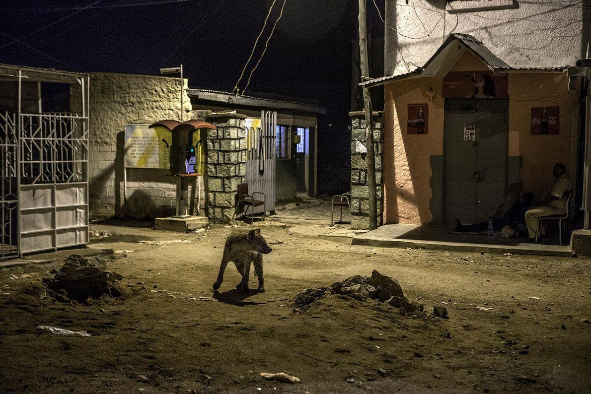 Una hiena camina por Harar