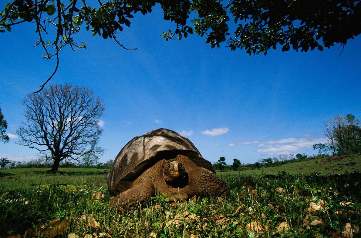 Tortuga gigante de Floreana