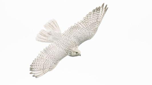 El halcón más grande del mundo se enfrenta a un peligro del que no puede huir: ...