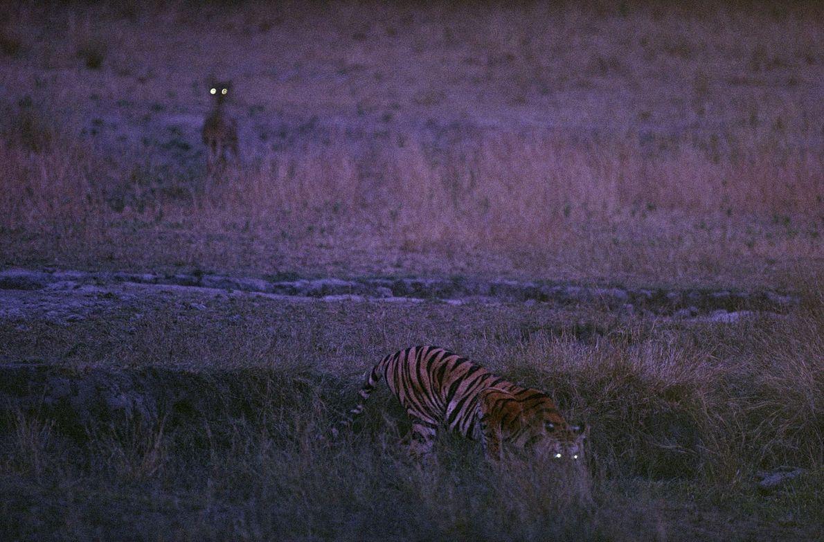 Bachhi el tigre y un ciervo