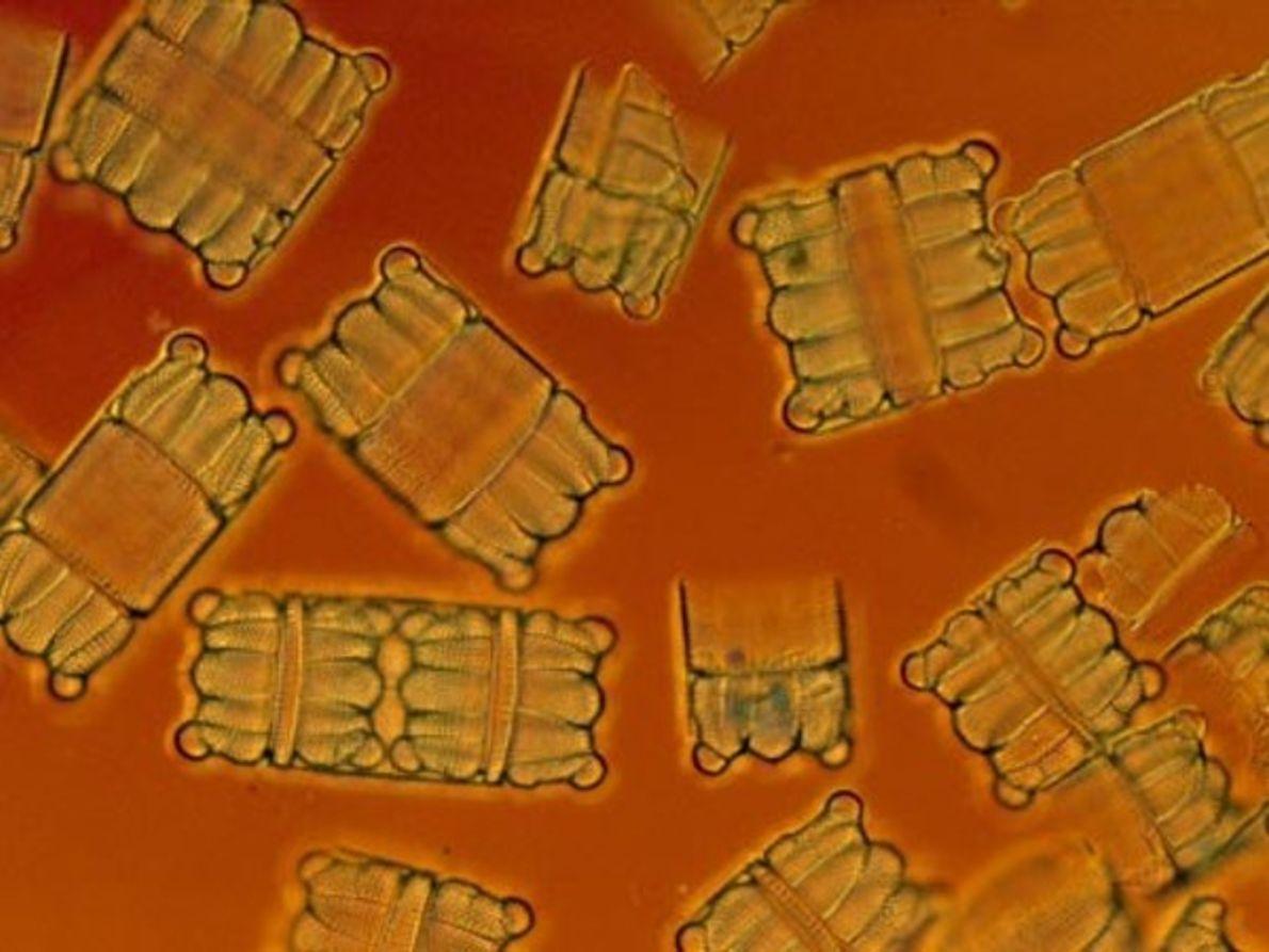 Diatomeas con forma de barril