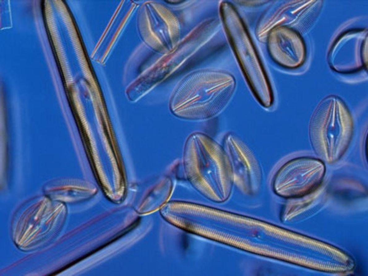 La estructura de Silica de las diatomeas les da un brillo opalescente.