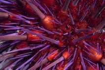 Erizo de mar púrpura