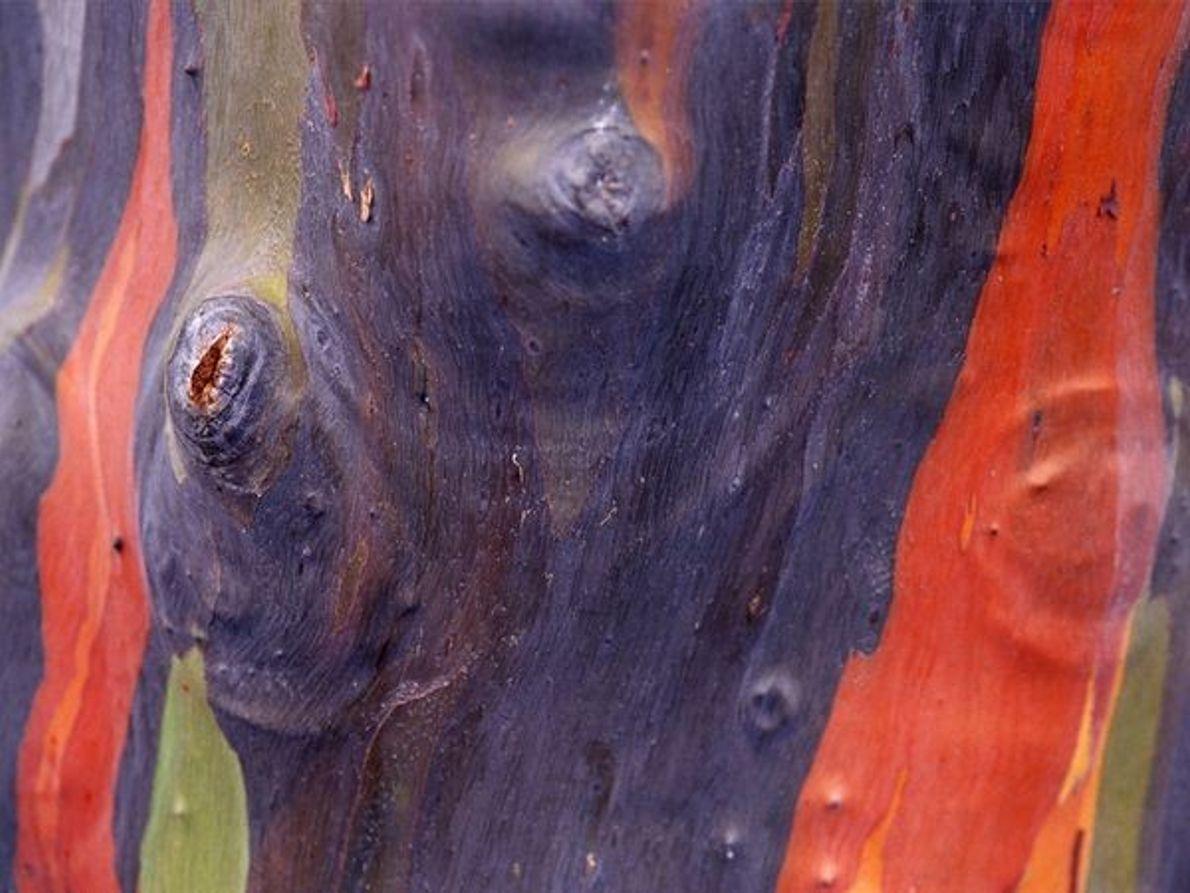 Corteza de eucalipto