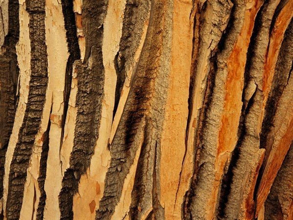 Grandes surcos atraviesan la corteza de un álamo en el parque Provincial Dinasaur de Cánada.