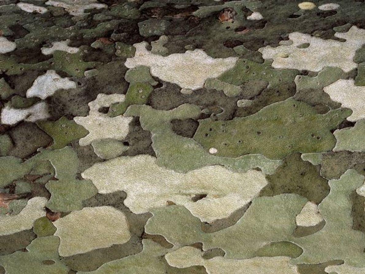 Escalas multicolores motean la corteza de un sicamoro cerca del lago Como, en Italia.