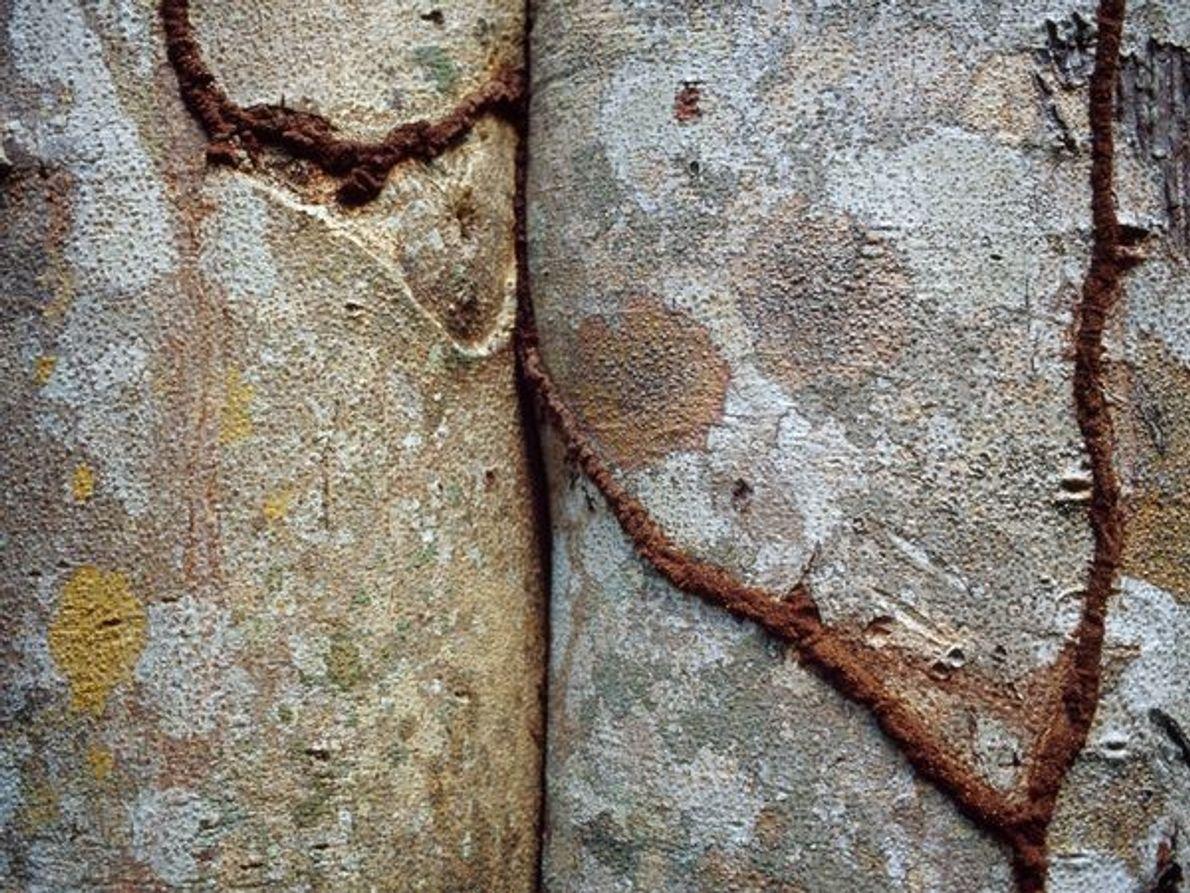 Los túneles de termitas hacen cicatrices en dos troncos de St John Island, en las islas …