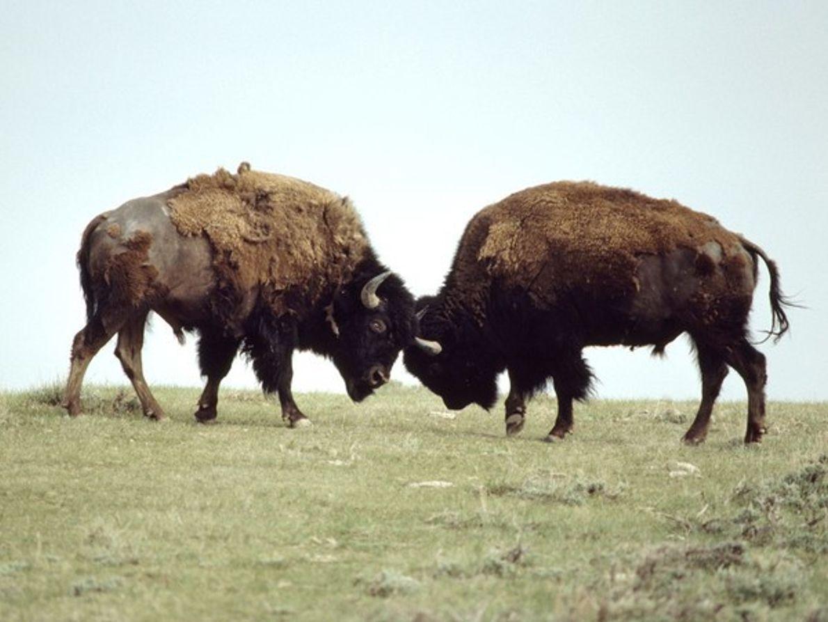 Dos bisontes macho en plena pelea