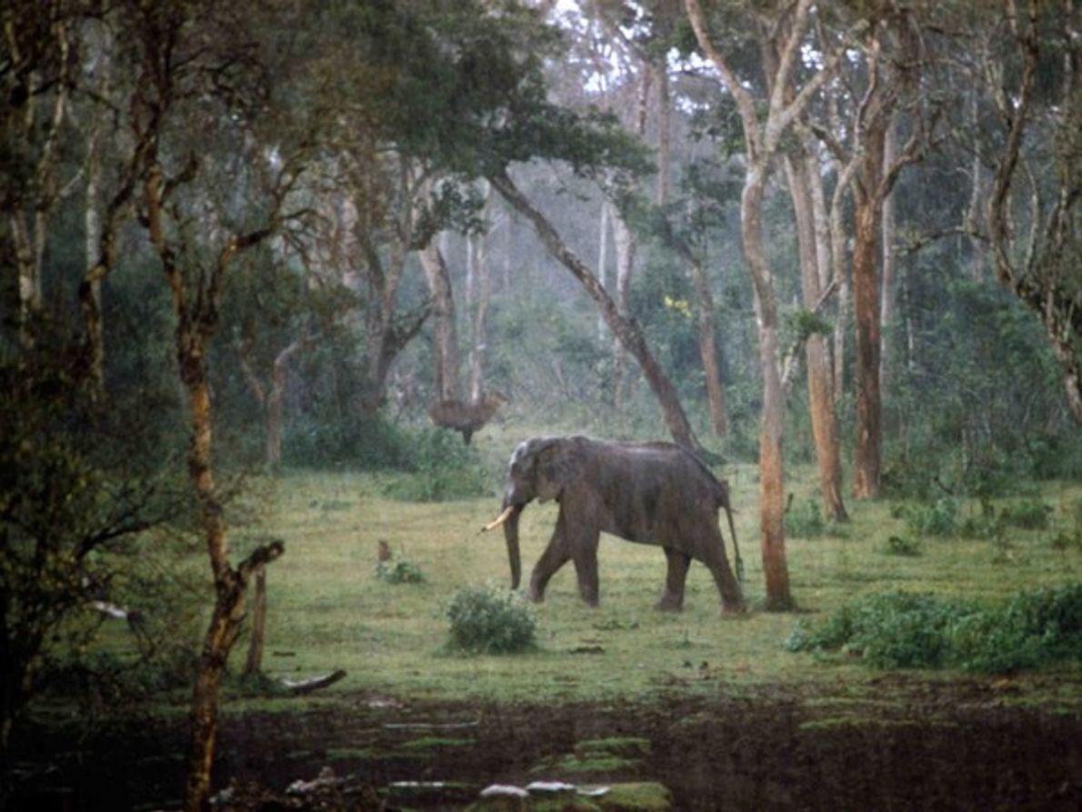 Elefante, Kenia