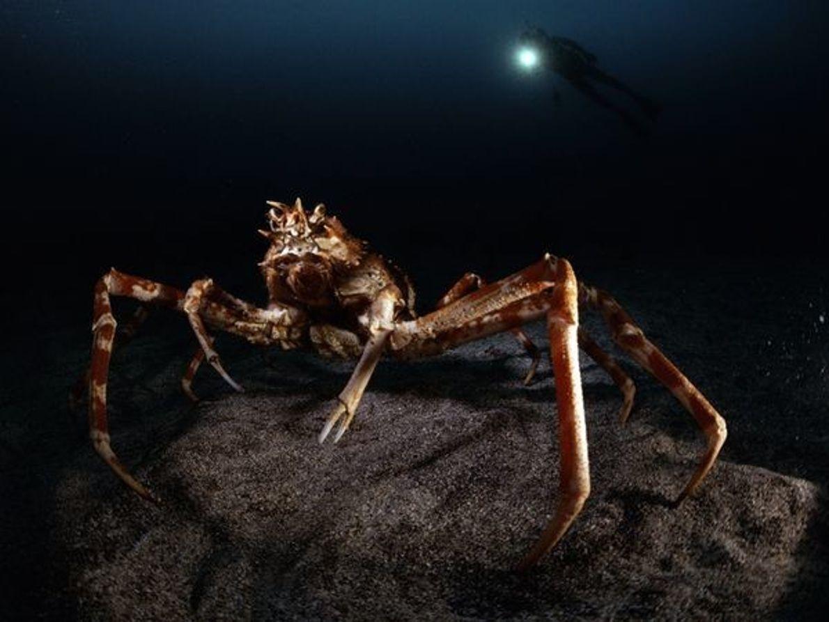 Cangrejo araña gigante