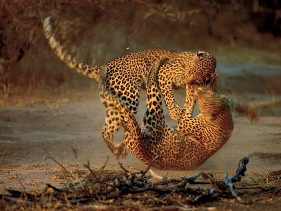 Lucha de leopardos, Sudáfrica
