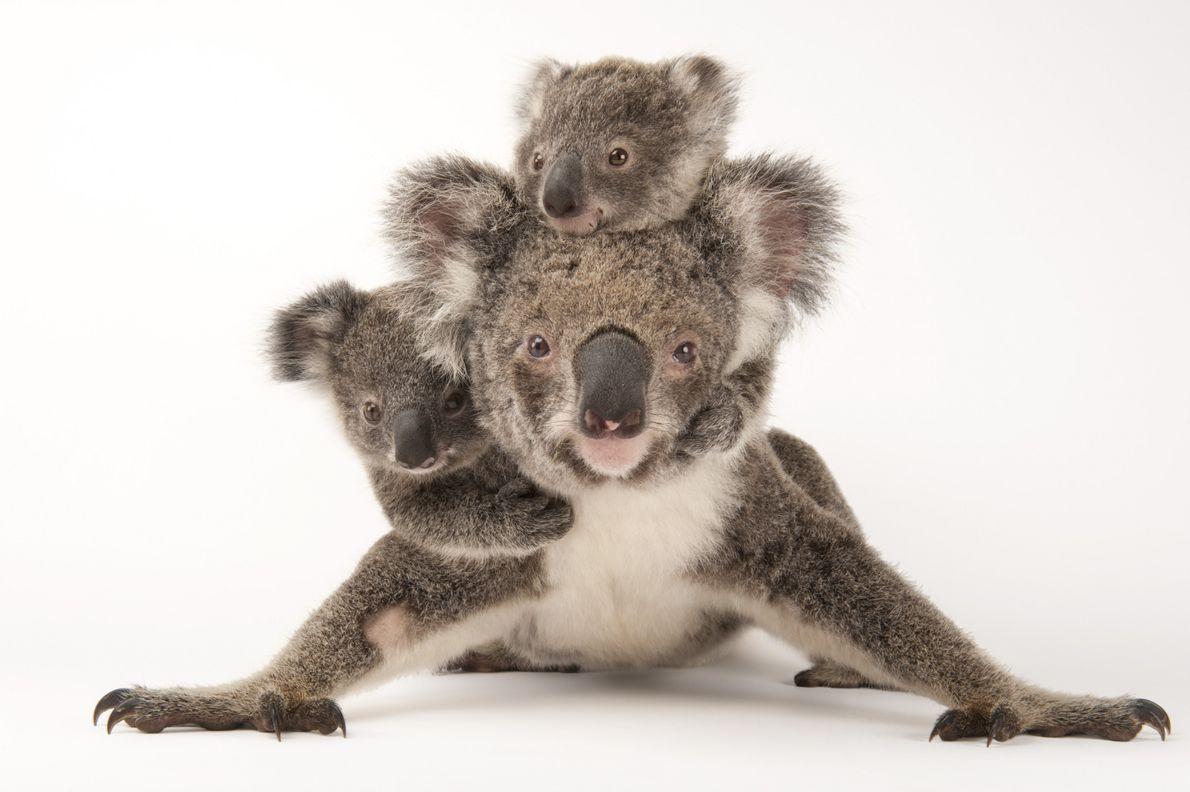 Clasificación: Preocupación menor   El koala (Phascolarctos cinereus) suele dar a luz a una cría de cada vez. …