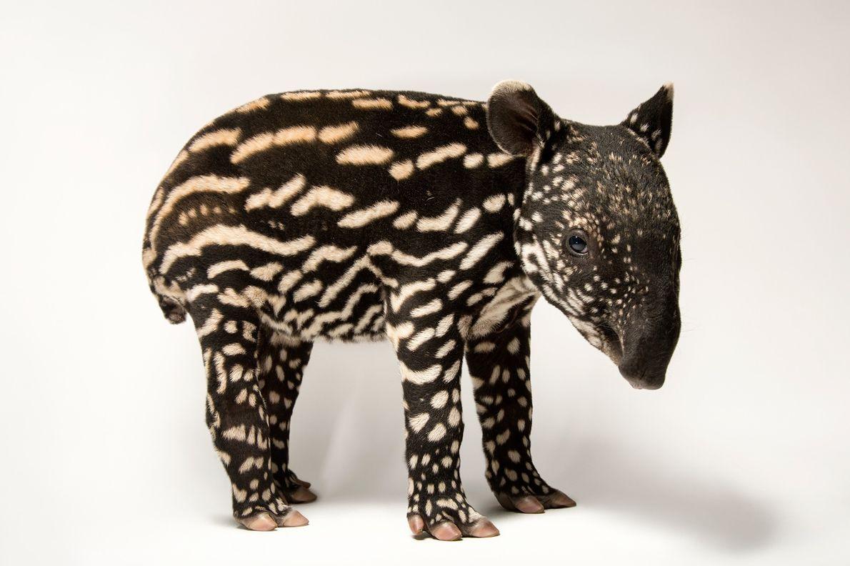 Clasificación: En peligro de extinción   El tapir malayo (Tapirus indicus) necesita bosque primario para refugiarse. La destrucción …
