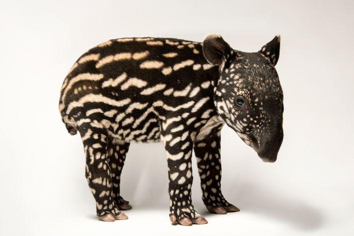 Clasificación: En peligro de extinción   El tapir malayo (Tapirus indicus) necesita bosque primario para refugiarse. La destrucción ...
