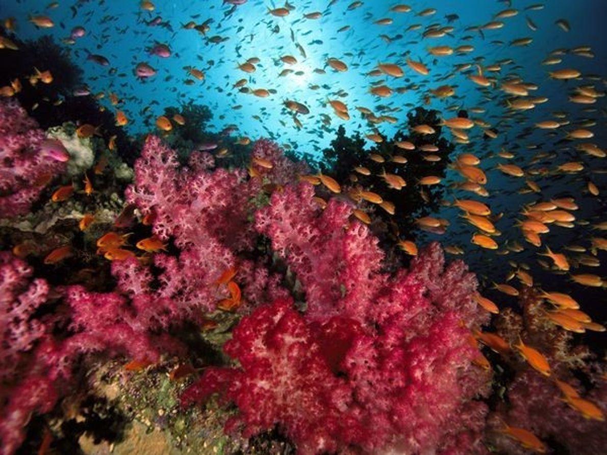 Basslets naranjas en un arrecife de coral