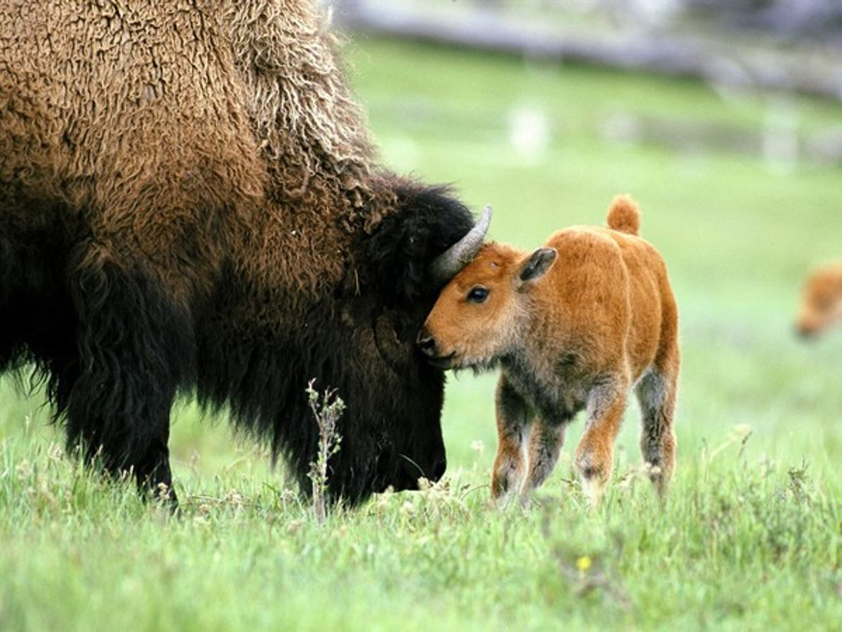 Bisonte con su cría