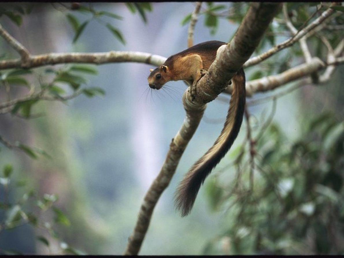 Ardilla gigante, Borneo, Indonesia, 1997