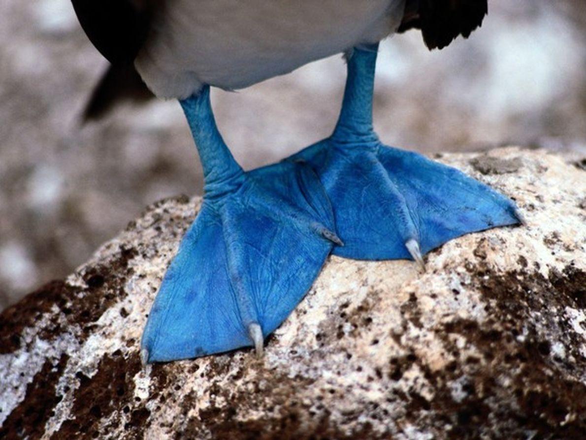 Sula de patas azules