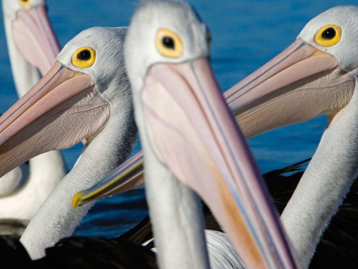 Pelícanos australianos