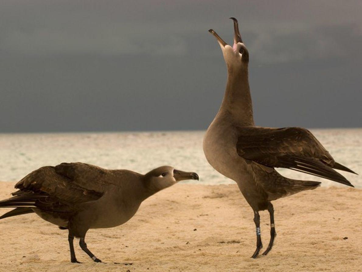 Albatros de pata negra