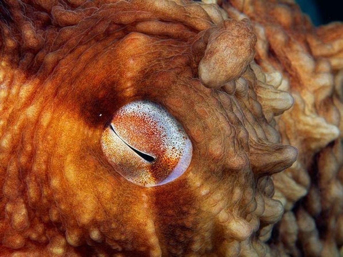 Ojo del pulpo del Pacífico