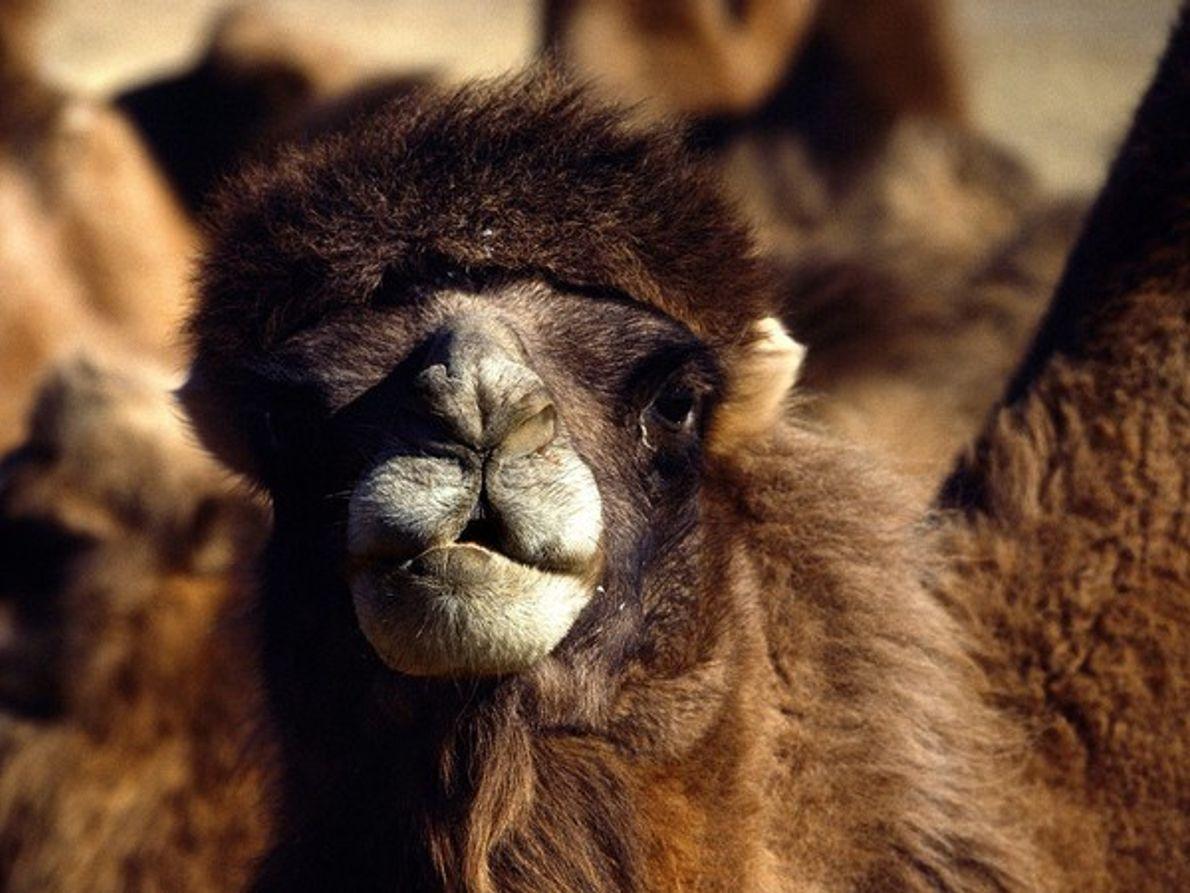Primer plano de un camello bactriano