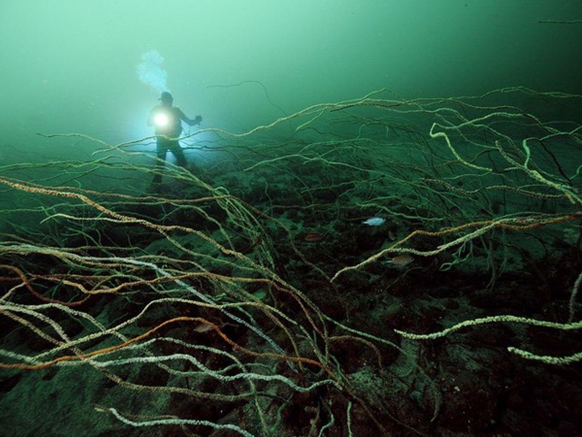 Coral en aguas profundas, Japón