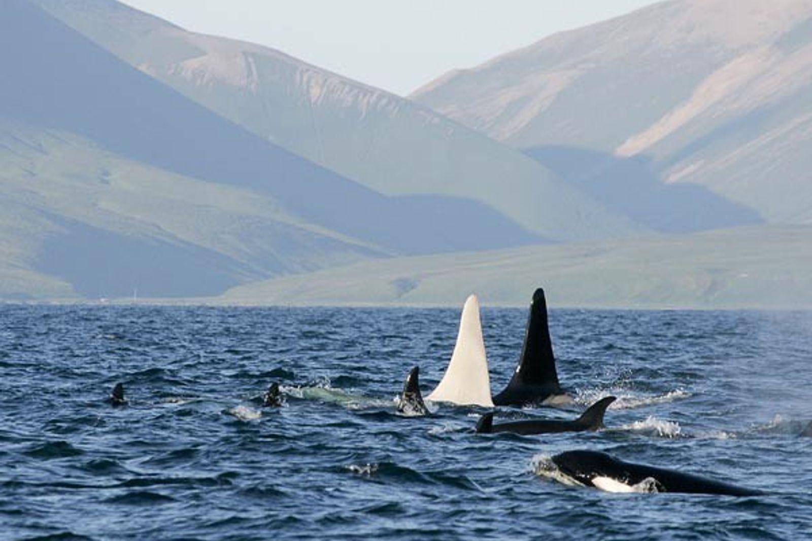 ORCA ALBINA