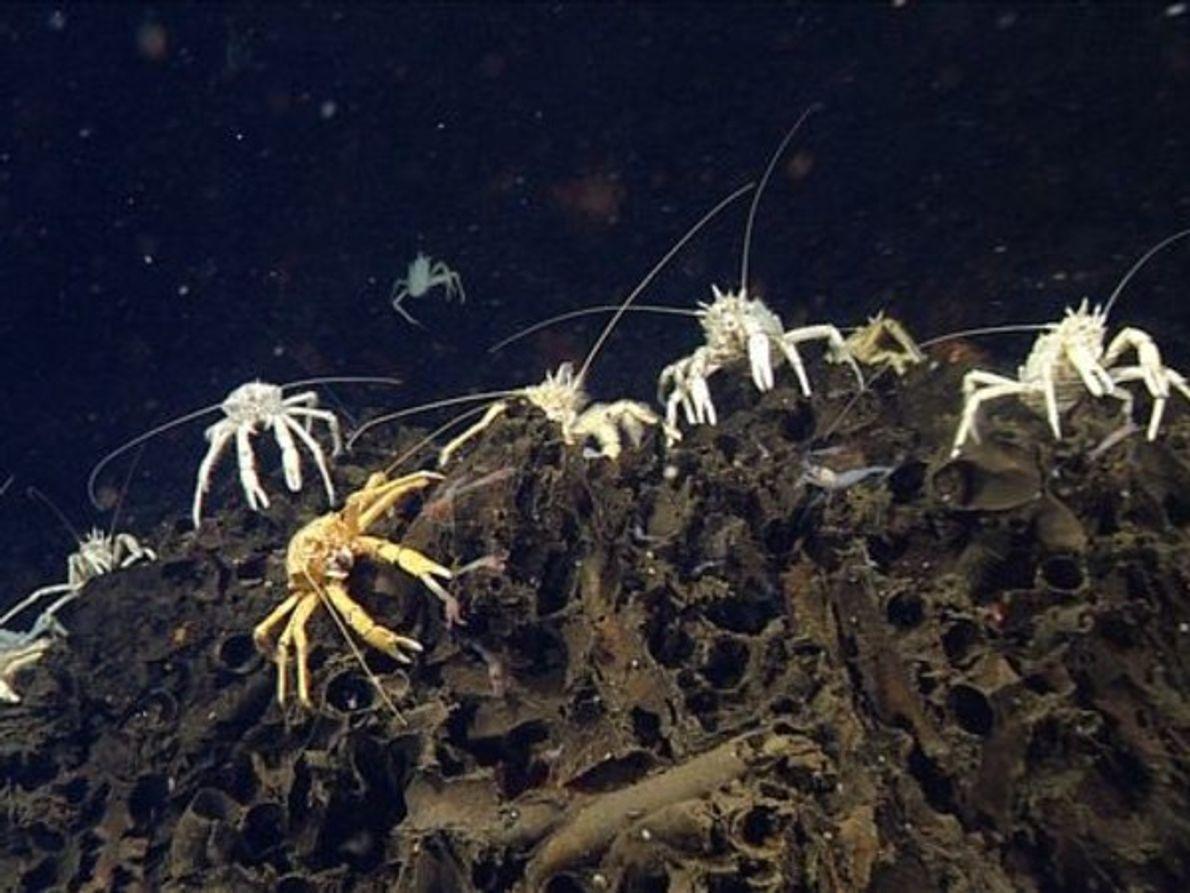 Grupo de cangrejos