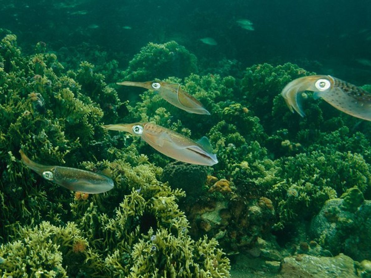 Calamares del Caribe