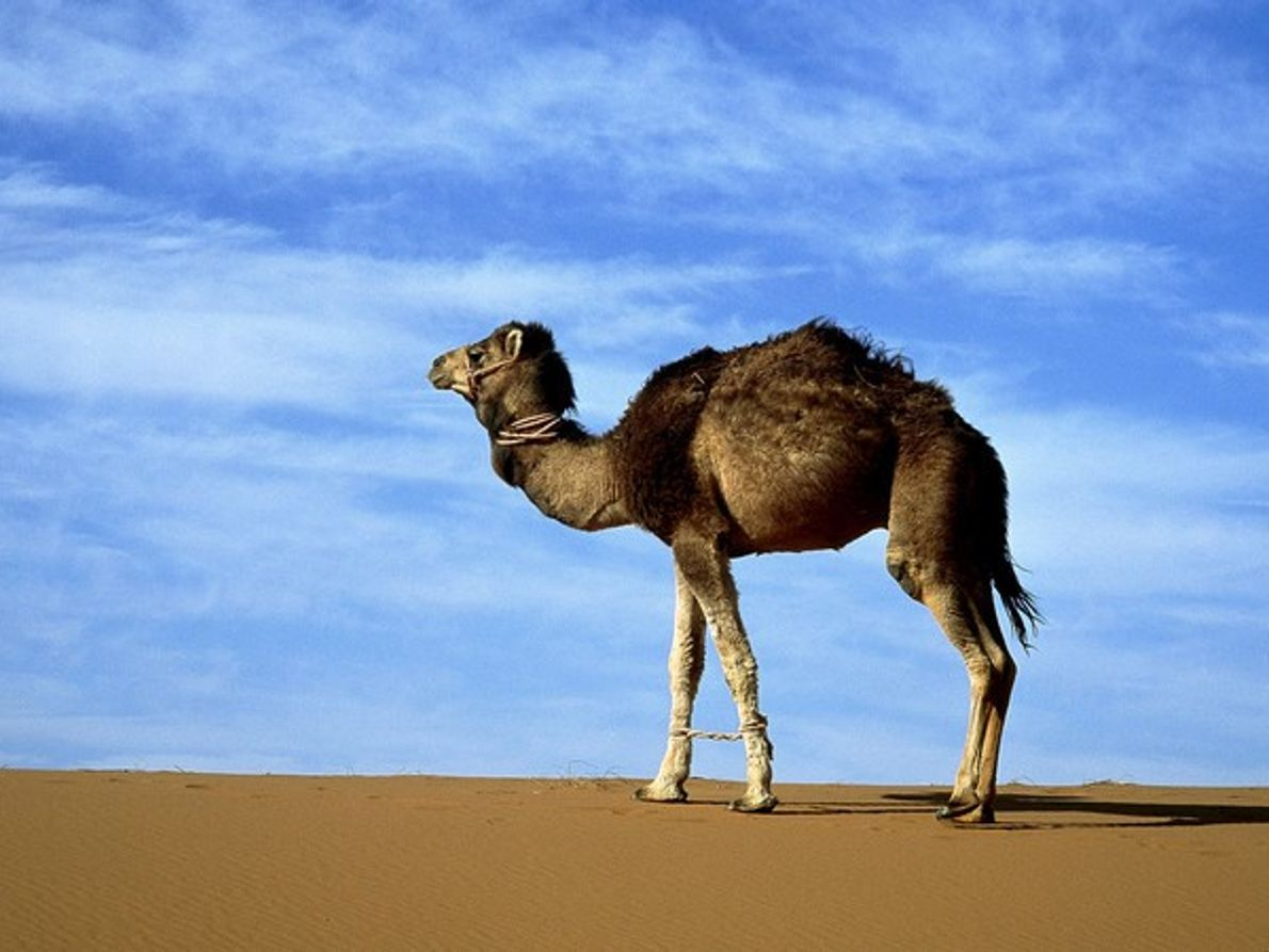 Camello de Arabia en el desierto del Sáhara