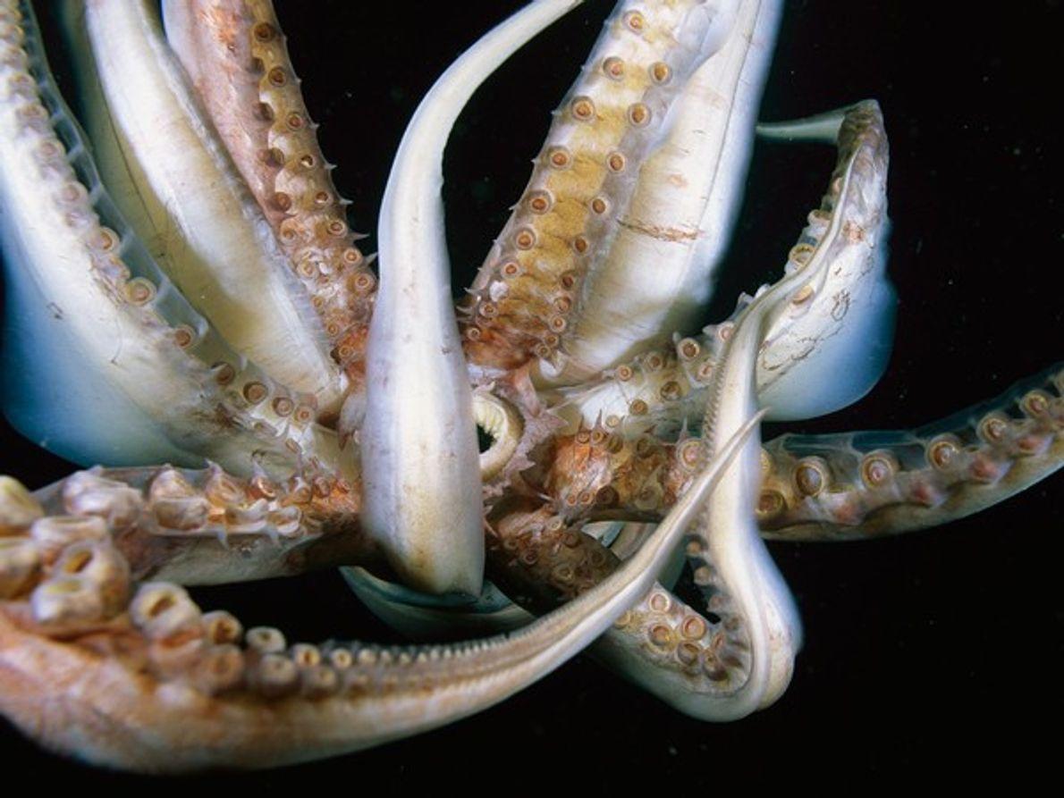 Tentáculos calamar gigante
