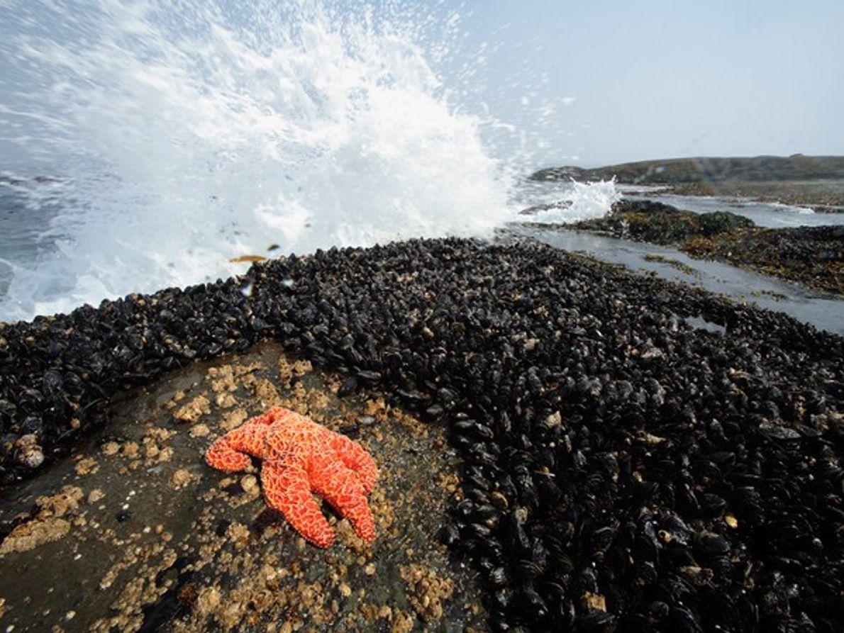 Estrella de Mar en un criadero de mejillones