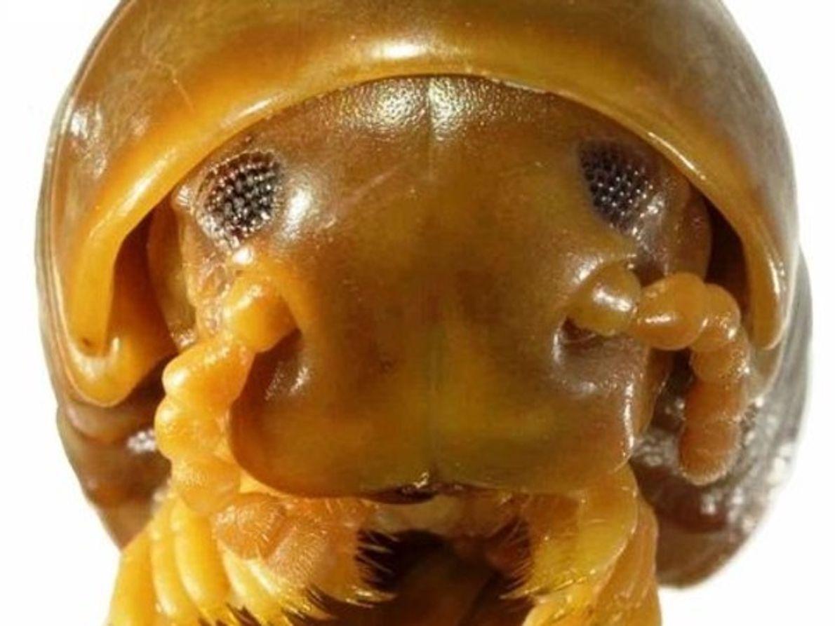 Milpiés gigante