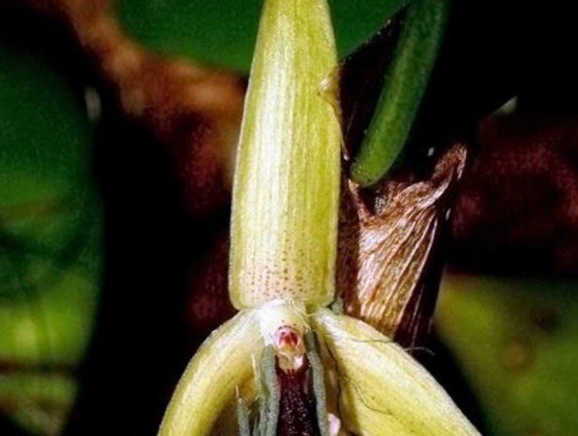 Orquídeas que florecen de noche