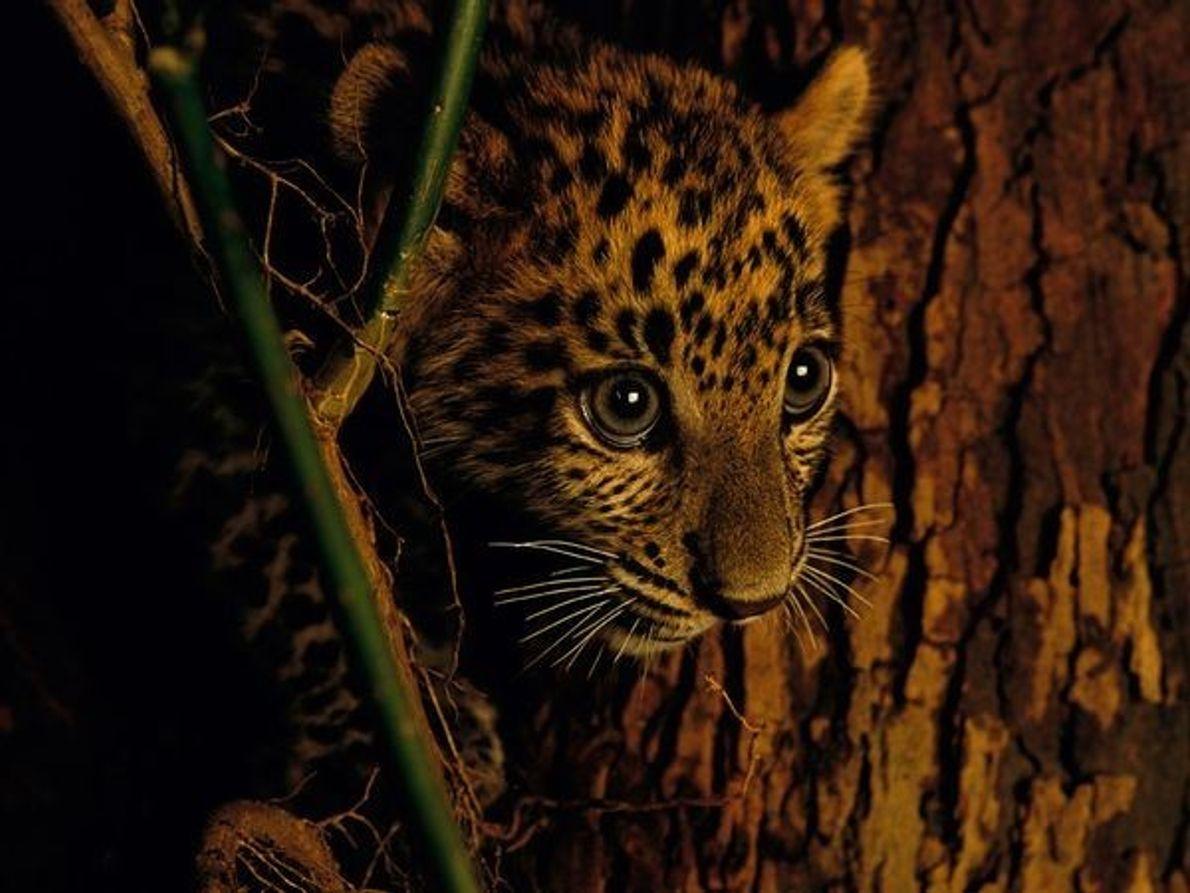 Cachorro de leopardo asiático