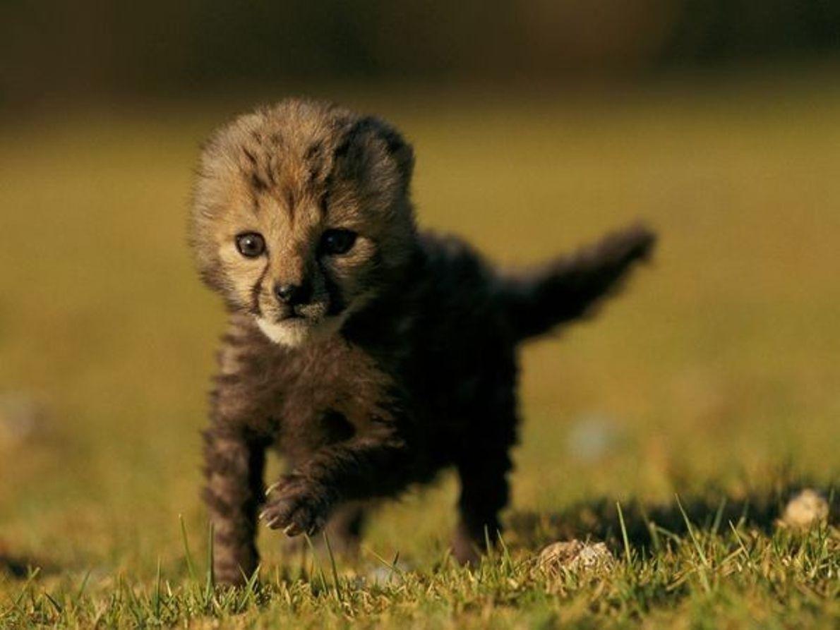 Cachorro de guepardo rey
