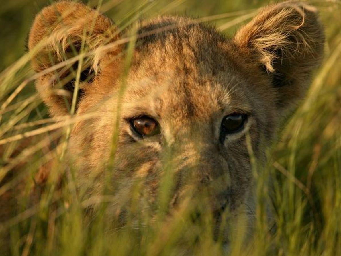 Cachorro de león africano