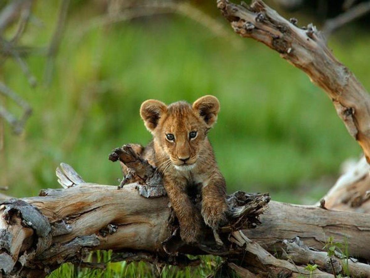 Cría de león africano