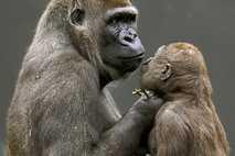 Los gorilas se comunican con sus bebés mediante gestos
