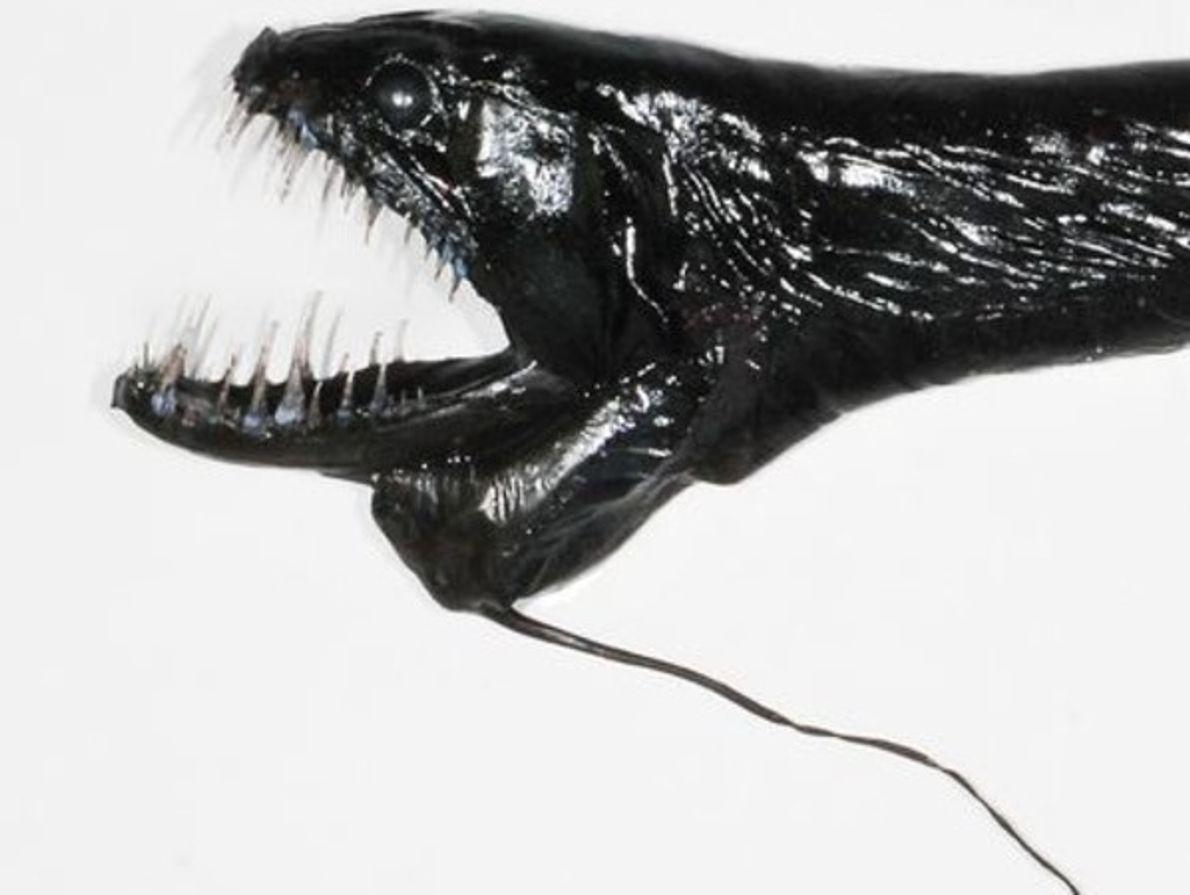 Dragonfish negro