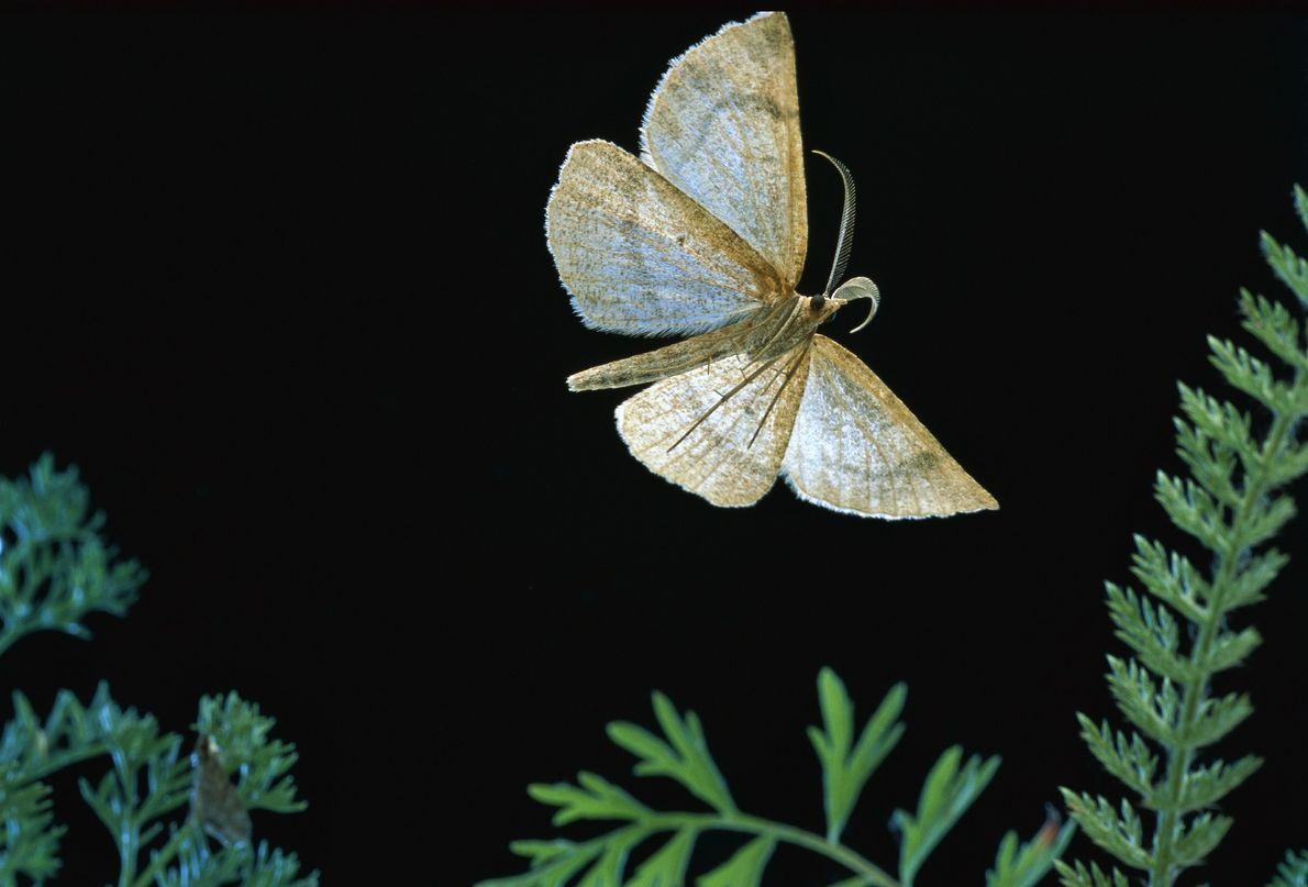 Macaria occiduuaria