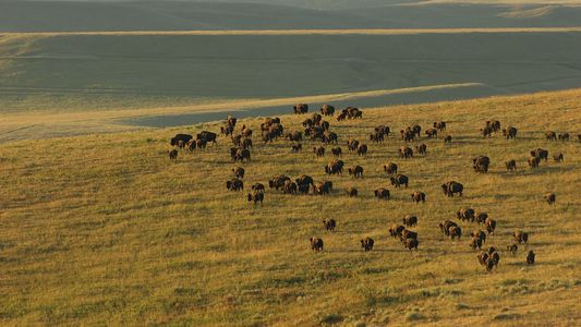 Cinco animales emblemáticos de Yellowstone