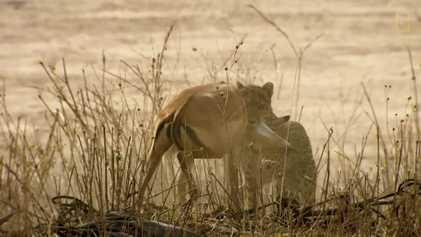 Vídeo: Un guepardo intenta cazar en territorio de leones