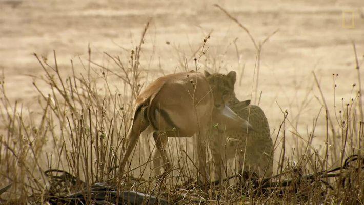 Un guepardo intenta cazar en territorio de leones