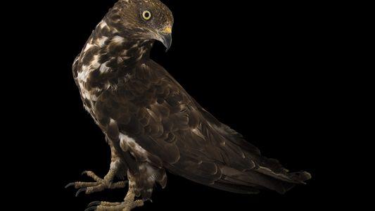 Descubren un ave rapaz autóctona capaz de depredar los nidos de la avispa asiática