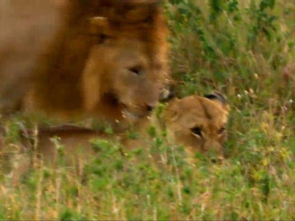 Amor entre leones