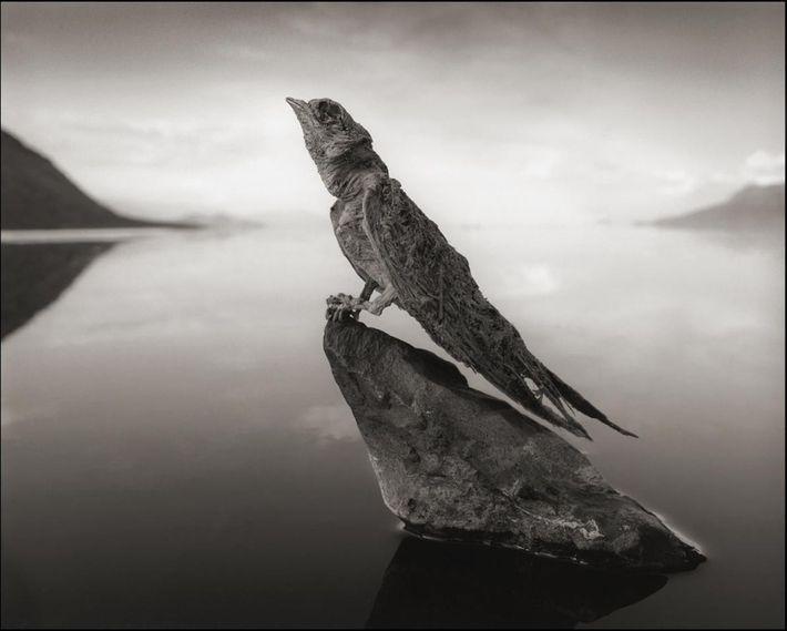 """Golondrina Petrificada. Una golondrina """"calcificada"""" canta en silencio sepulcral en la parte Norte de Tanzania, en el ..."""