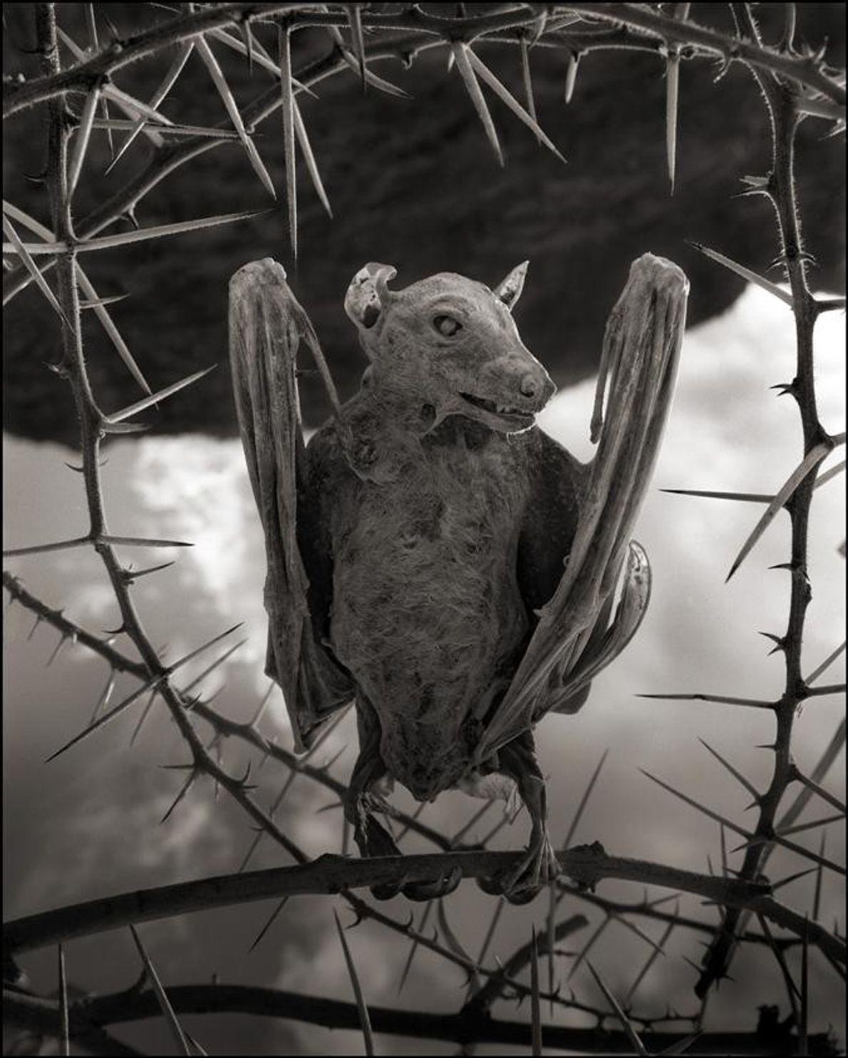 Murciélago momia