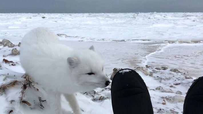 Un cara a cara con un adorable zorro polar